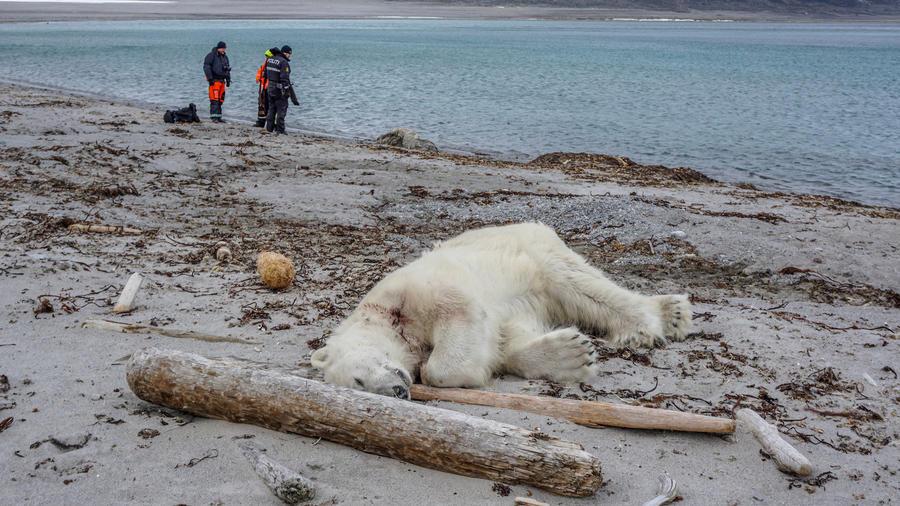 El oso polar abatido tras el ataque en Noruega.