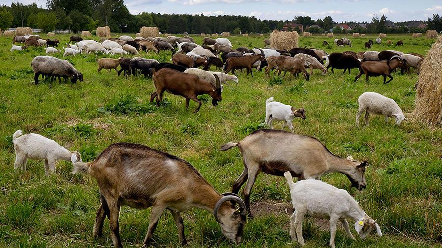 Varias cabras pastan en un terreno en Podolsk, cerca de Moscú.