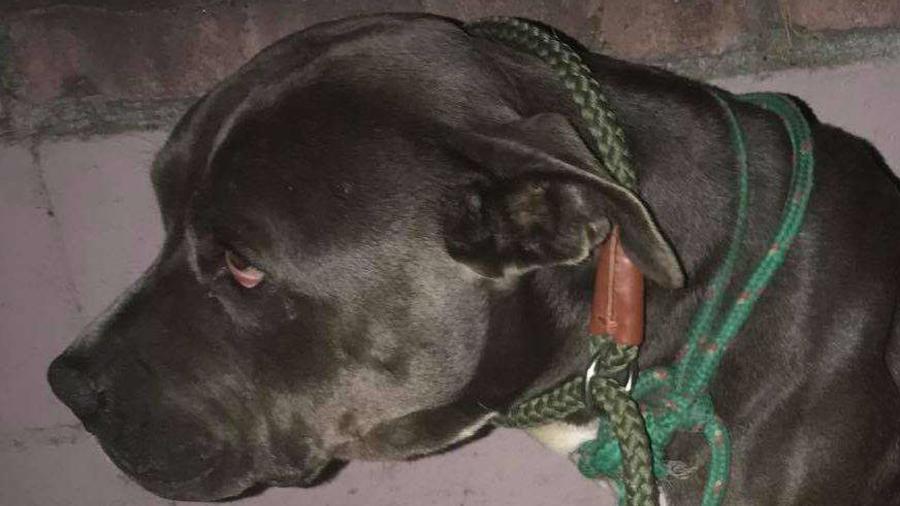 Una perra de raza Pit Bull murió tras ser herida