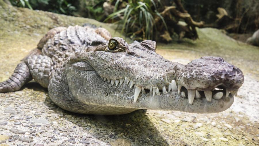 Imagen de archivo de un caimán.