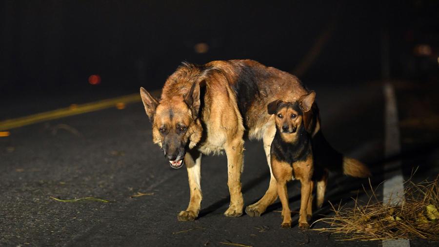 Perros acalorados