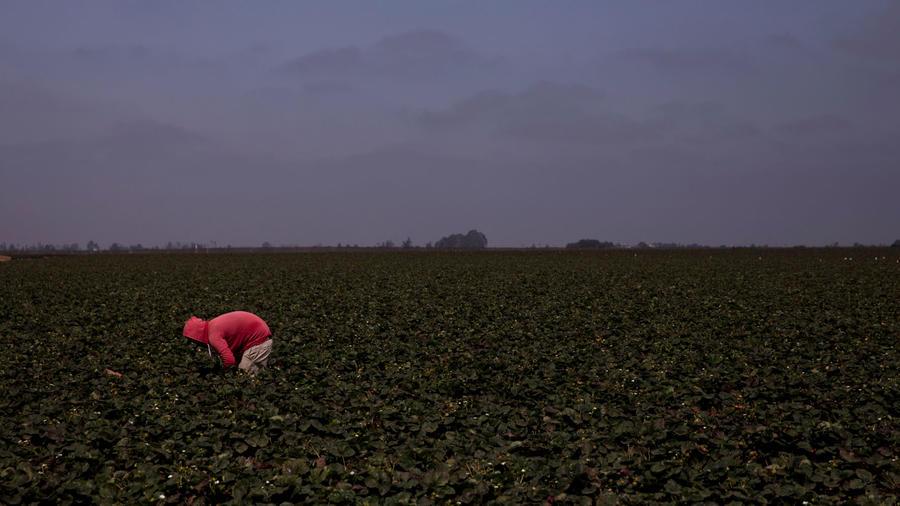 Campo de fresas en California