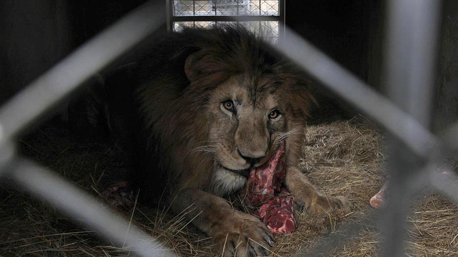 Un león come un pedazo de carne en un albergue provisional.