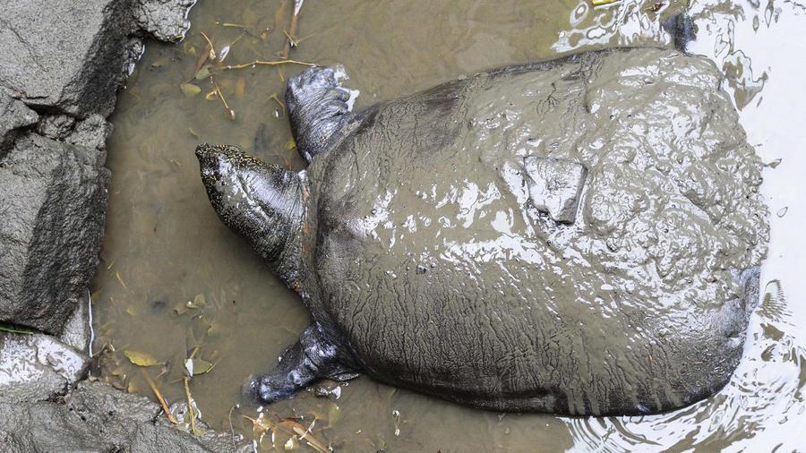 Tortuga especie Yangtze en peligro de extinción