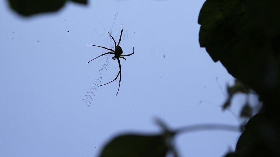 Una araña se desplaza sobre su telaraña.
