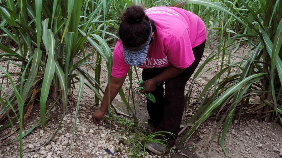 Inmigrante mexicana indocumentada trabaja en los campos de cultivo de Homstead en Florida