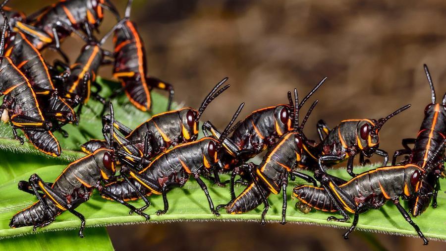 Invasión de langostas o saltamontes