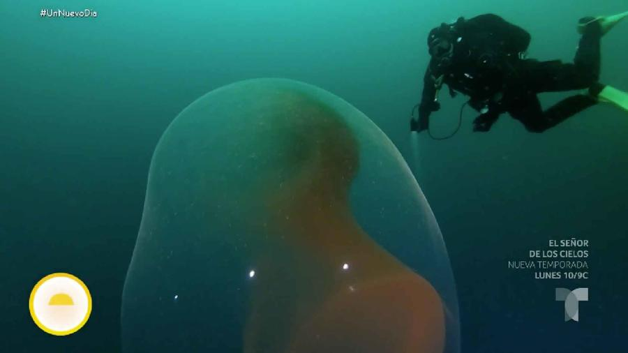 Gran masa gelatinosa con huevos de calamares