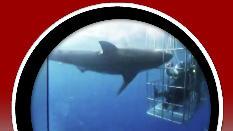 Tiburón blanco murió desangrado