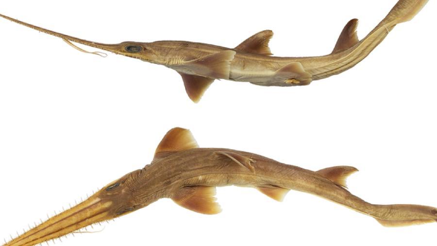 Tiburones nuevas especies