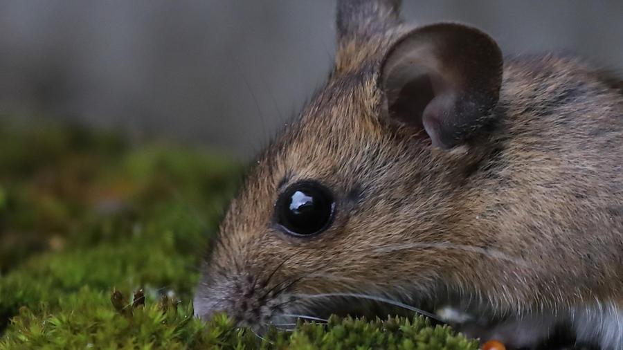 Ratón orejudo