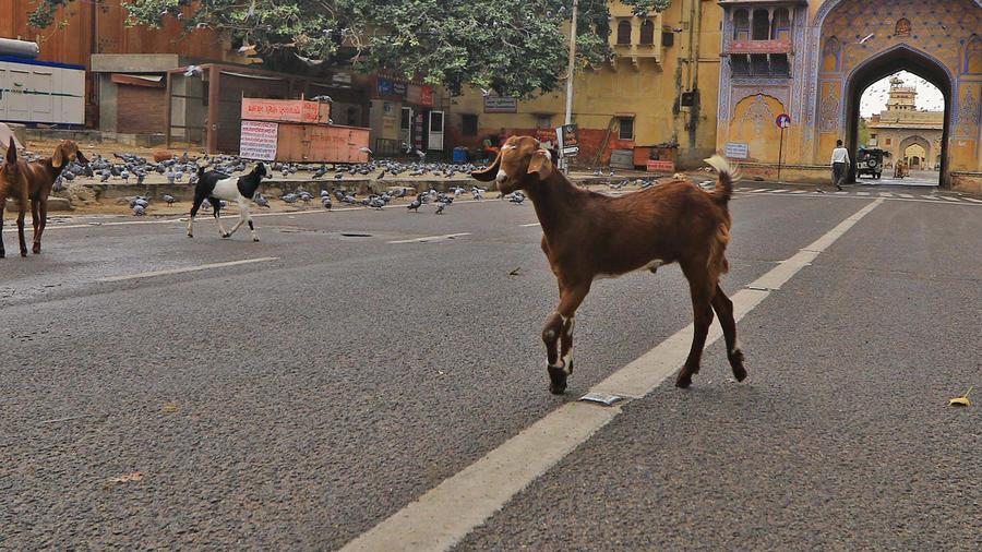 Animals on streets