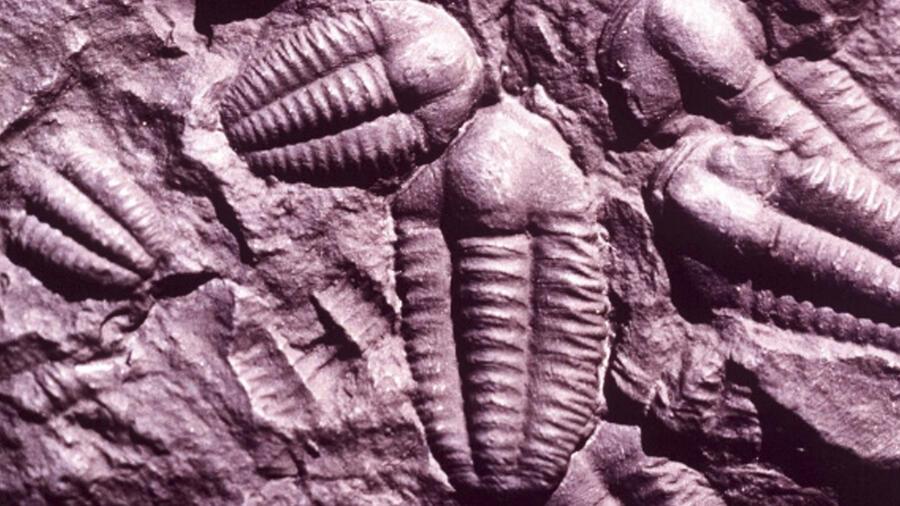 Fósil de milpiés