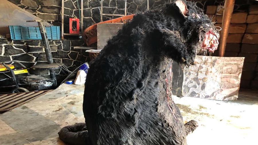 Rata gigante hallada en México