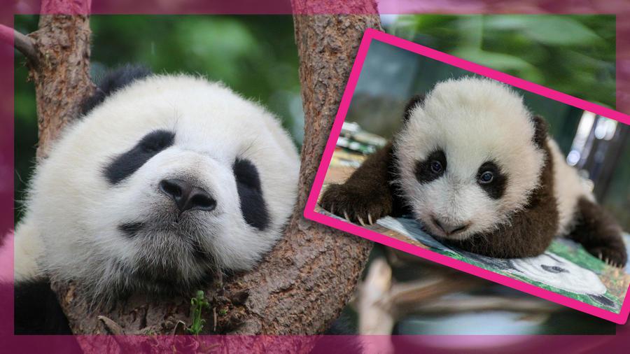 panda bebé zoo de DC