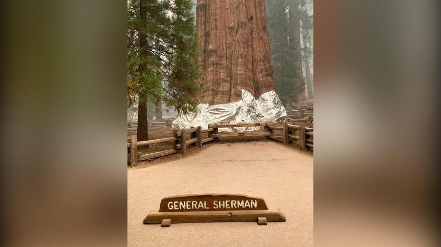 Los bomberos envuelven el histórico árbol General Sherman, que se estima que tiene entre 2,300 y 2,700 años de antigüedad, con mantas a prueba de fuego en el Parque Nacional Sequoia el jueves.
