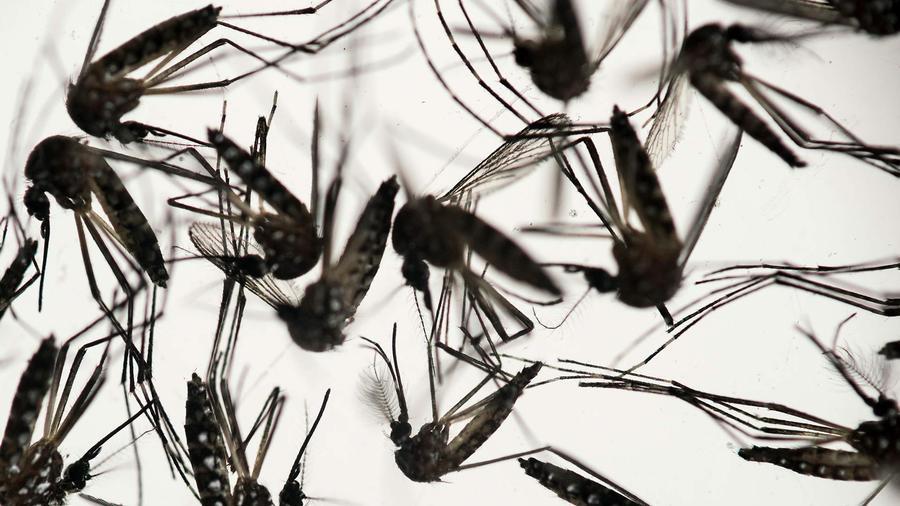 Varios mosquitos Aedes
