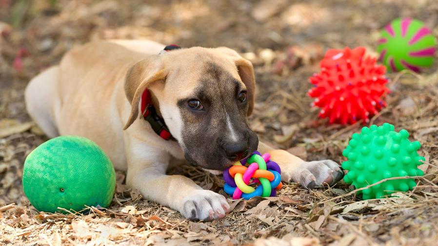 Perro con juguetes