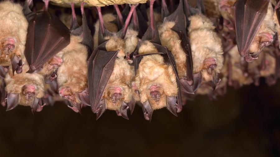Grupo de murciélagos durmiendo