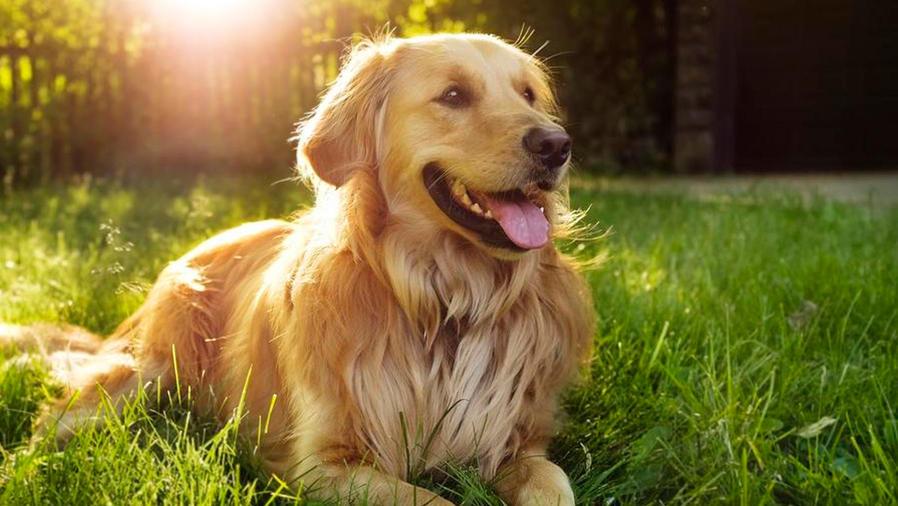 Perro adulto de raza golden retriever