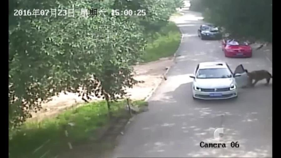 tigre ataca a mujer