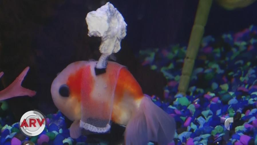 pez recibe silla de ruedas