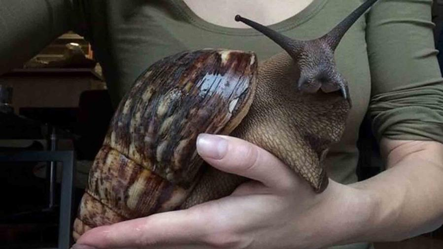 Caracol gigante, Twitter