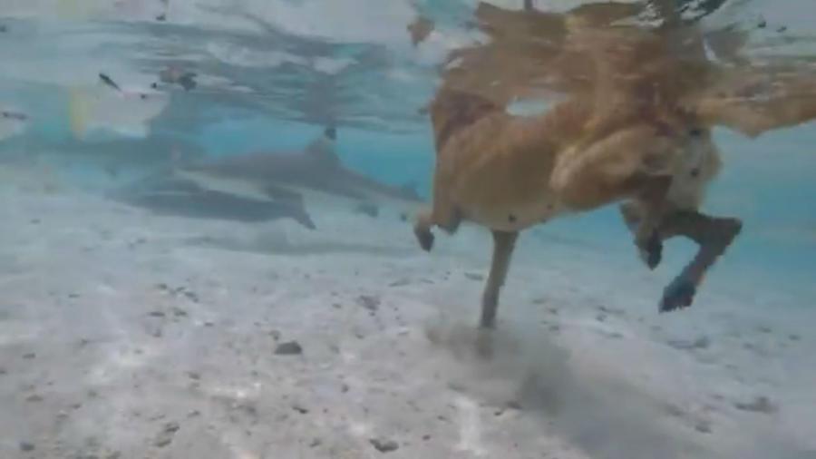 Perrito nadando con tiburones