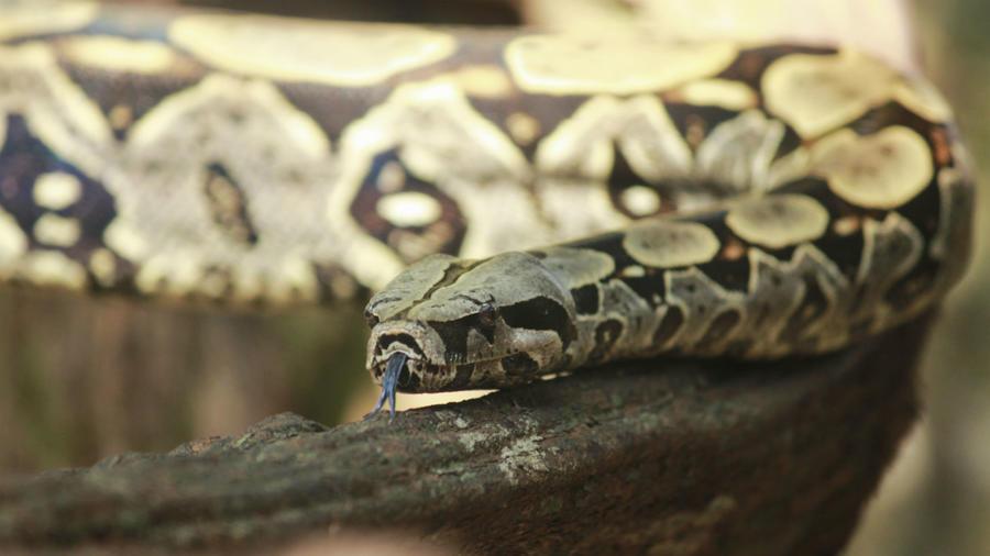 Así luce la anaconda más grande del mundo