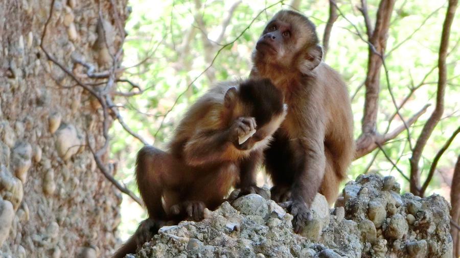 En esta foto de 2014 distribuida por la revista Nature, un joven mono silbador golpea una piedra con otra en el Parque Nacional Serra da Capivara de Brasil