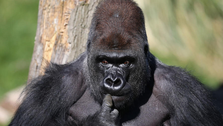 gorila zoologico