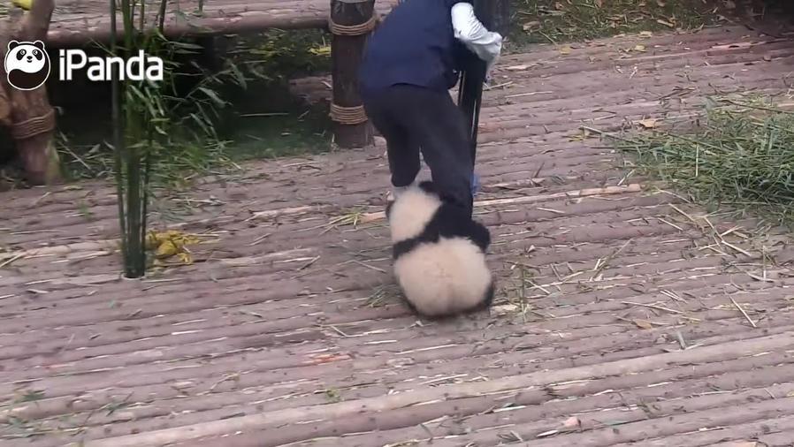 Pandita hace de todo para tener la atención de su cuidador.