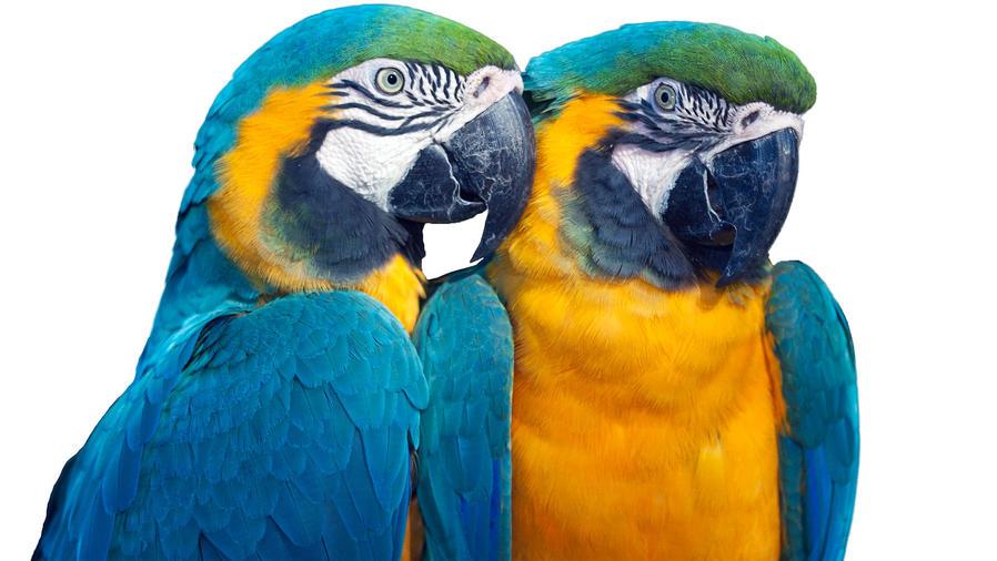 Papagayos de garganta azul