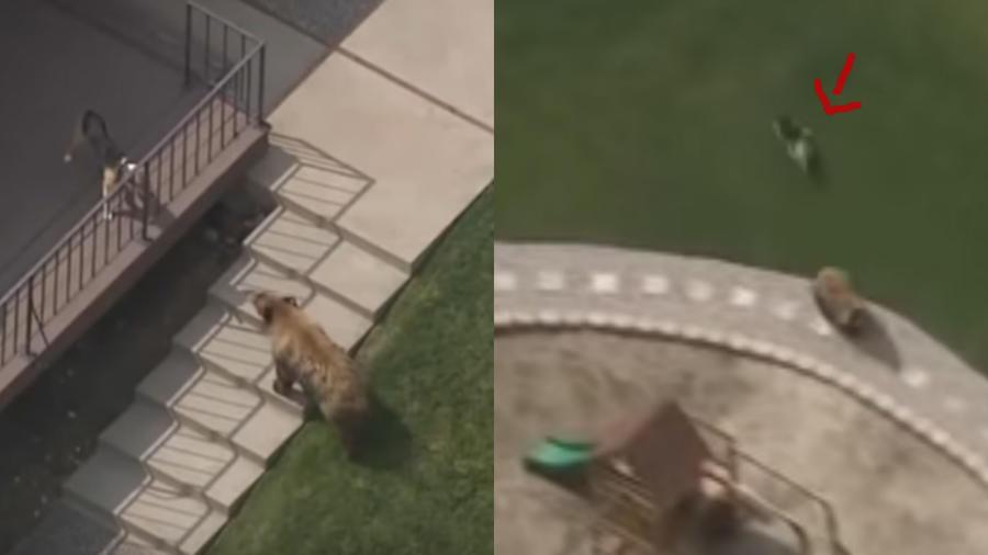 perrito ahuyenta a oso gris