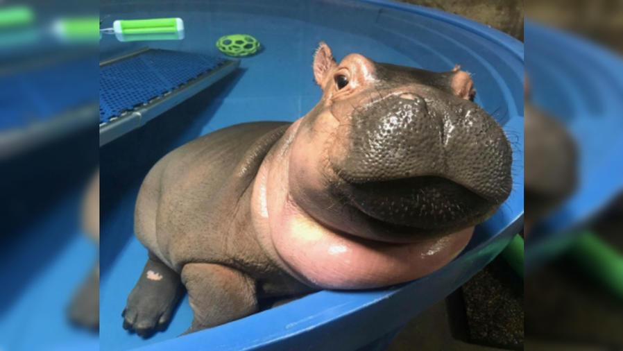 Fiona, el hipopótamo bebé