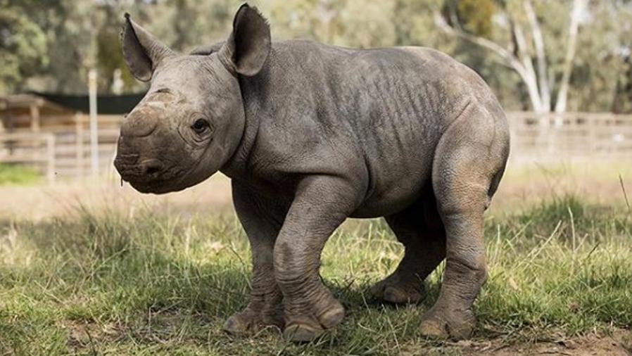 Rinoceronte negro del sur bebé