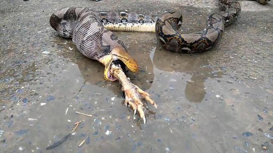 Serpiente pitón devuelve pollo que se tragó