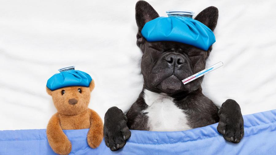 Perrito en cama, con gripe