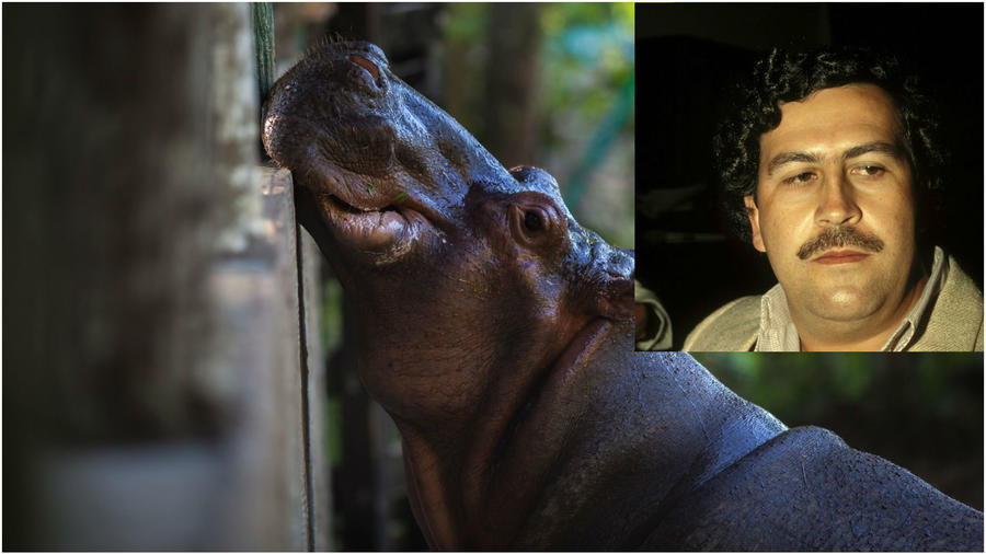 Hipopotamos de Pablo Escobar