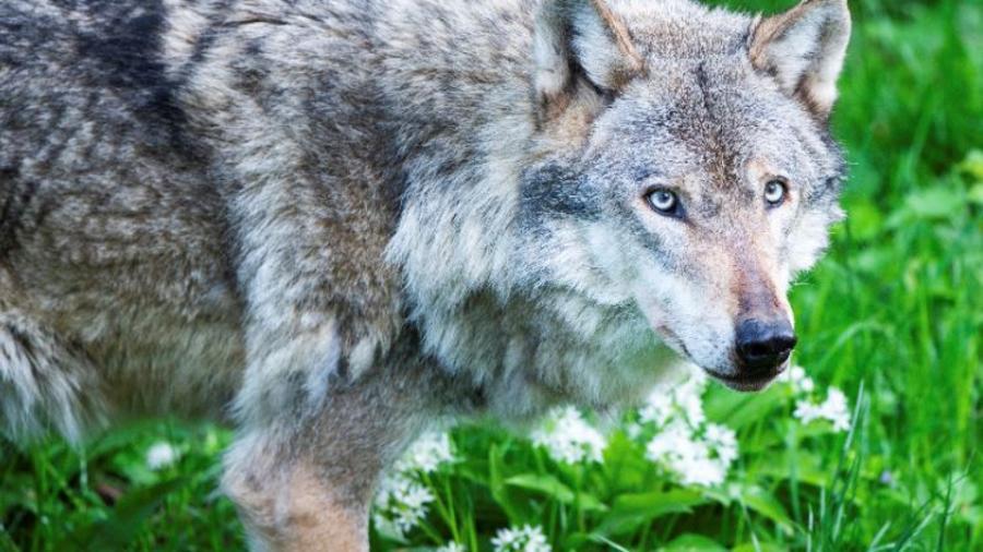 Una imagen de archivo de un lobo.