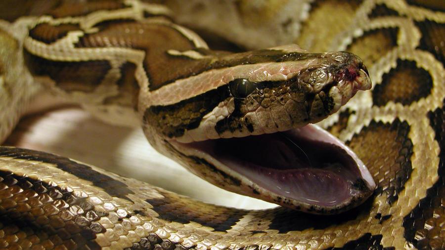 serpiente piton mercado pulgas