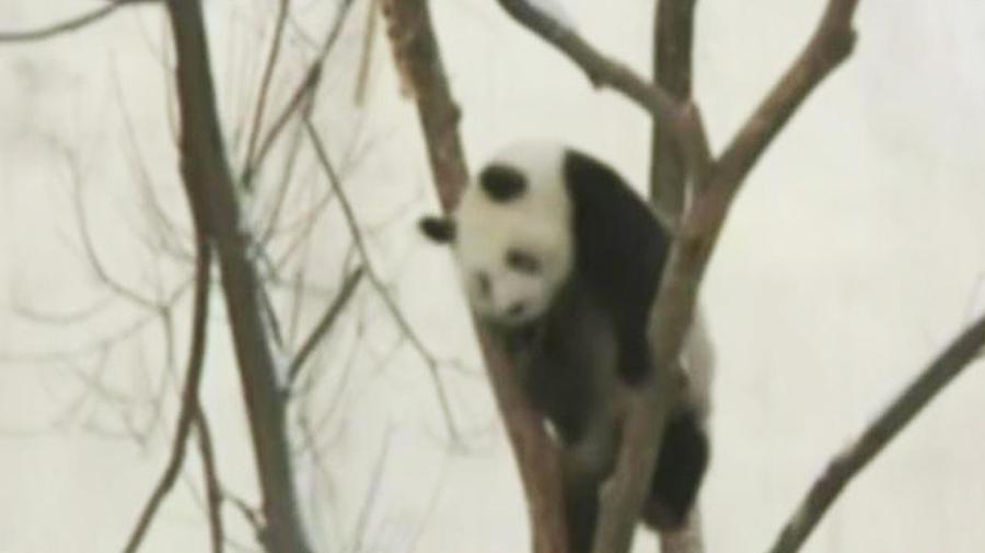 osos-panda-se-divierten-nuevo-hogar