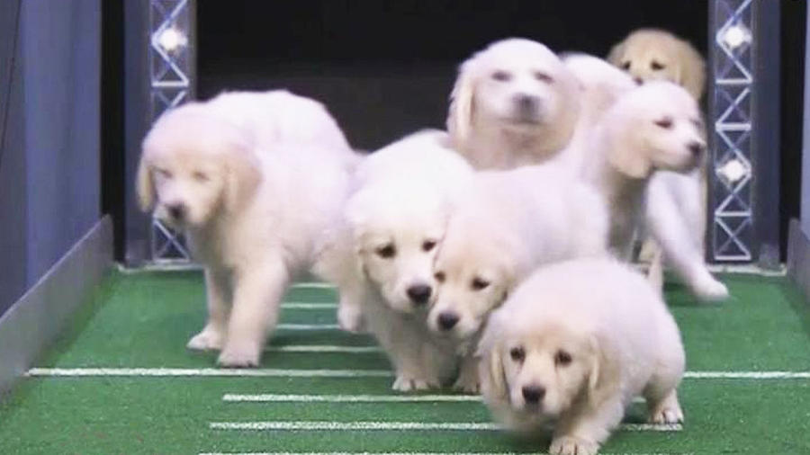 perritos videntes super bowl