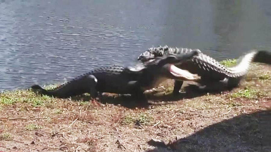 lagartos peleando