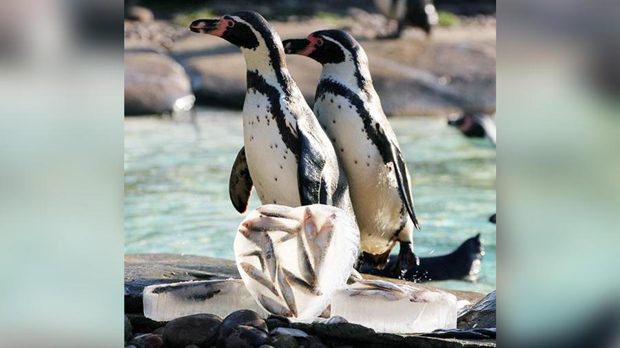 pinguinos london zoo