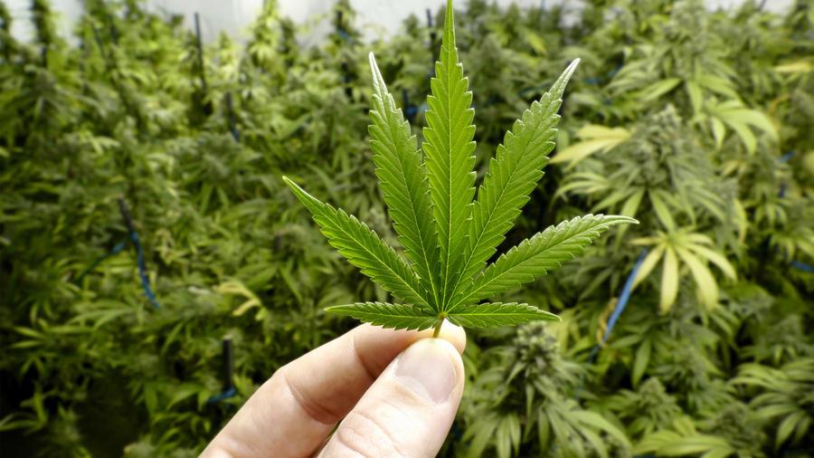 En la imagen una hoja de marihuana y detrás un montón de plantas de marihuana.