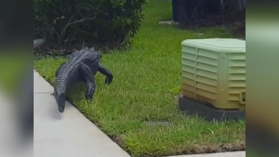 enorme lagarto en vecindario