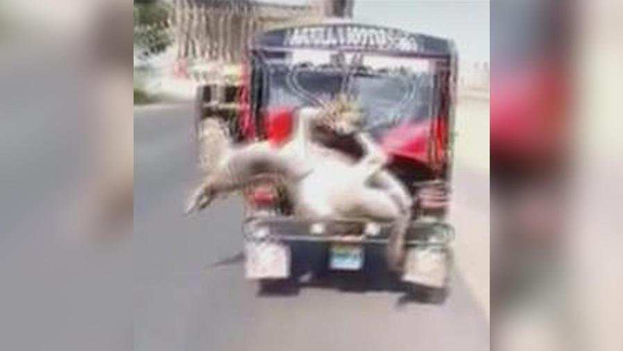 maltrato a burro en peru