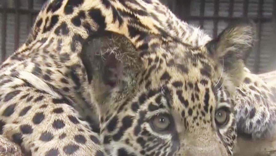 jaguar en zoo de japon