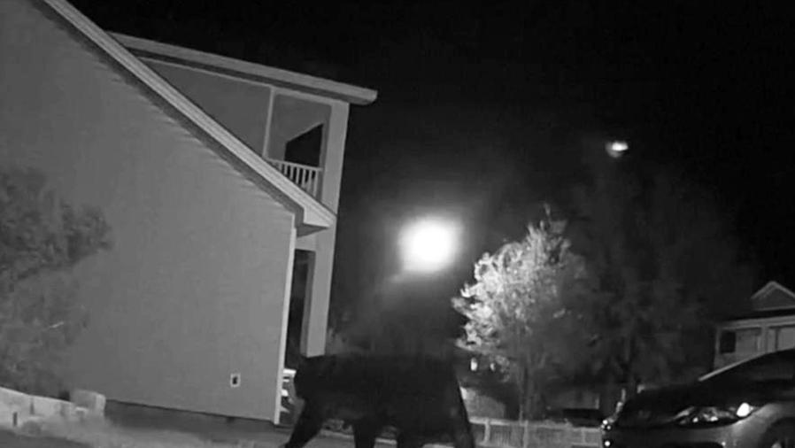 oso gigante merodea vecindario